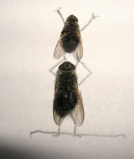 moscas malabares